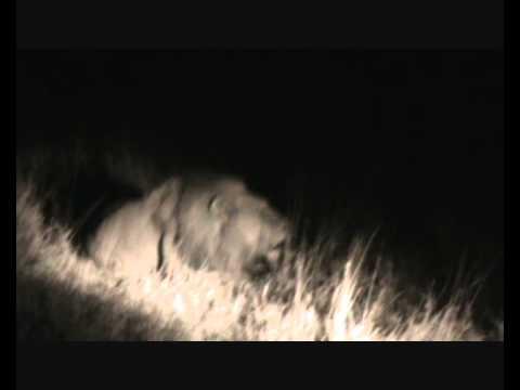 Lion Roar.wmv