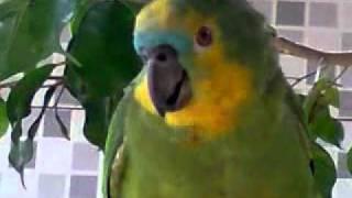 papagaio que chora como criança
