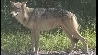 Wolf Walking Down Jean Duluth Rd. - Duluth, MN
