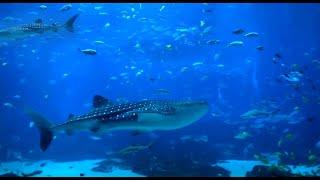 Beautiful HD Aquarium Video - Georgia Aquarium (Ocean Voyager I)