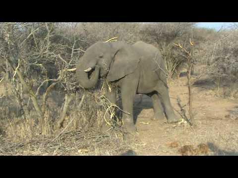 Elephant eating bark