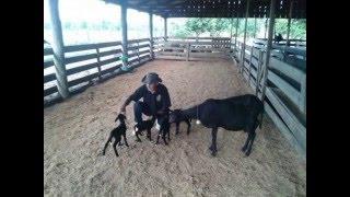 14/04/16 Nascimento de ovelhas quadrigêmeas em Nova Ubiratã chama a atenção de pesquisadores