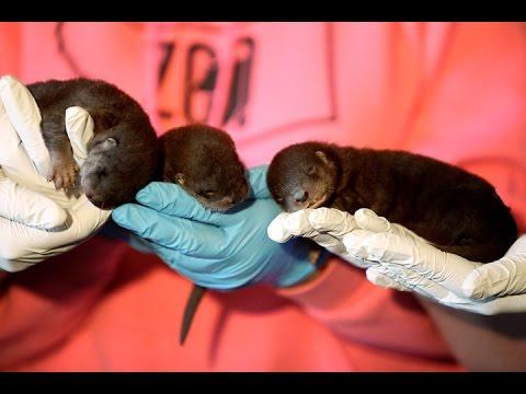 Three baby otters
