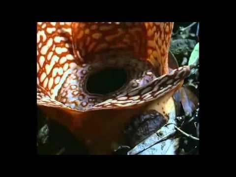 Dünyanın en büyük çiçeği Rafflesia!