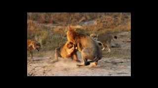 Leões travam batalha de duas horas por território e fêmeas