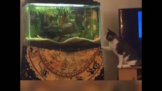 Cat fishtank fail by spite news funny viseo