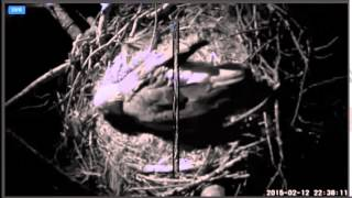 2015 02 12 Berry College Eagles:  Chirping from Egg