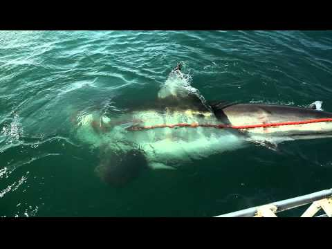 An Enormous Great White Shark
