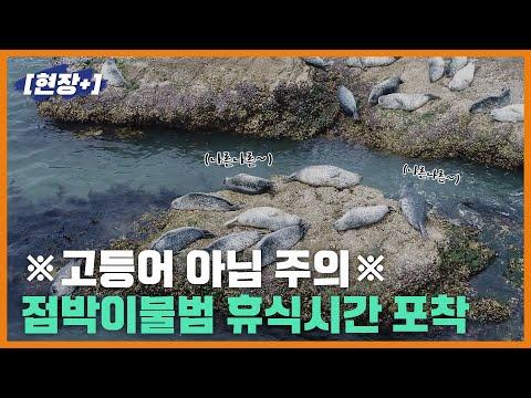 [현장+]백령도 인근 점박이물범 포착