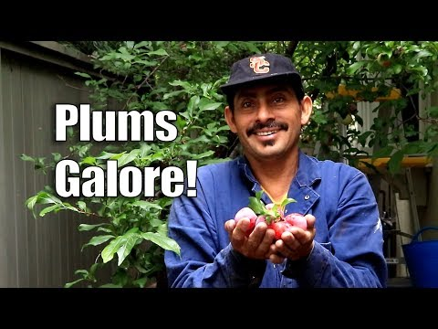 BIGGEST PLUM Harvest and VIEW from the ROOF! | Urban Garden