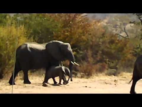 Elefanti in Botswana Chobe Africa