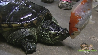 SNAPPING TURTLE BITES GOLDFISH HEAD OFF?