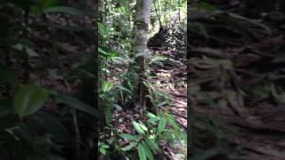 Jungle calling - sounds of tropical rainforest (Sarawak, Borneo)
