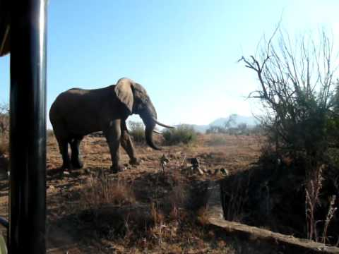 Elephant warning us in the Pilanesburg, South Africa