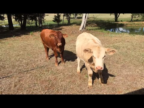 WEANING THE 2018 CALVES