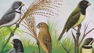 Seu pássaro está cantando pouco? Assista esse vídeo!