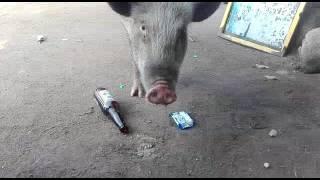 Cerdo chelero
