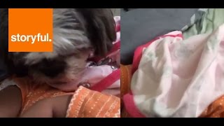 Shih Tzu Covers 3-Week-Old Baby with Blanket (Storyful, Dogs)