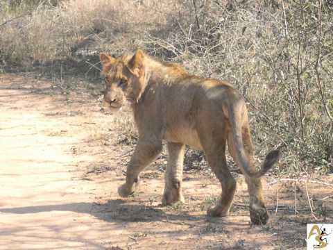 Safari in South Africa by African Sands 2012.wmv