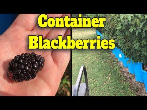 💥 CONTAINER BLACKBERRY UPDATE 🍇 MASSIVE BLACKBERRY PLANTS IN POTS🌿 👀