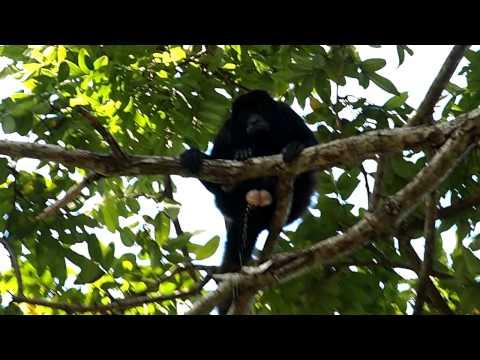 Howler Monkey Poops