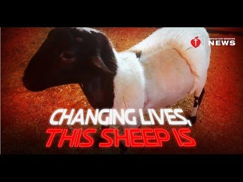 Yoda makes sheep history with heart surgery