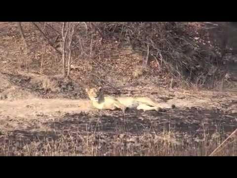 kafue lions