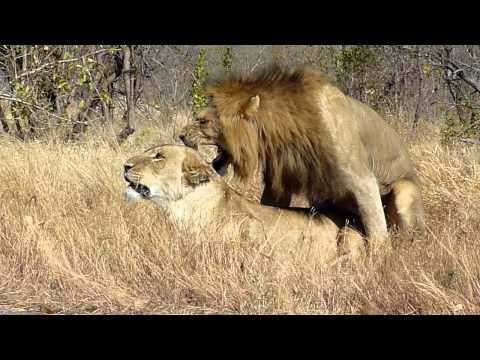 Mating Pair of Lion, Kruger National Park, South Africa V1