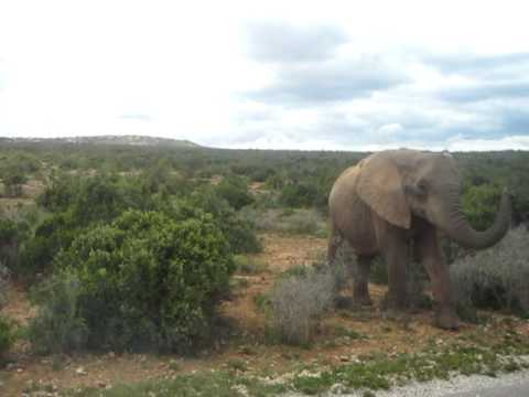 Aggressive Elephants at Addo Elephant Park