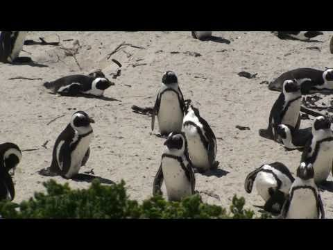 African Penguin Colony – Simon's Town