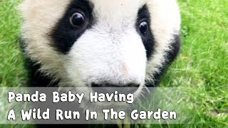 Panda Baby Having A Wild Run In The Garden | iPanda