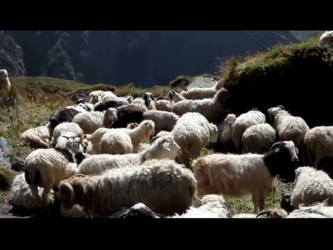 魚尾峰下的羊群
