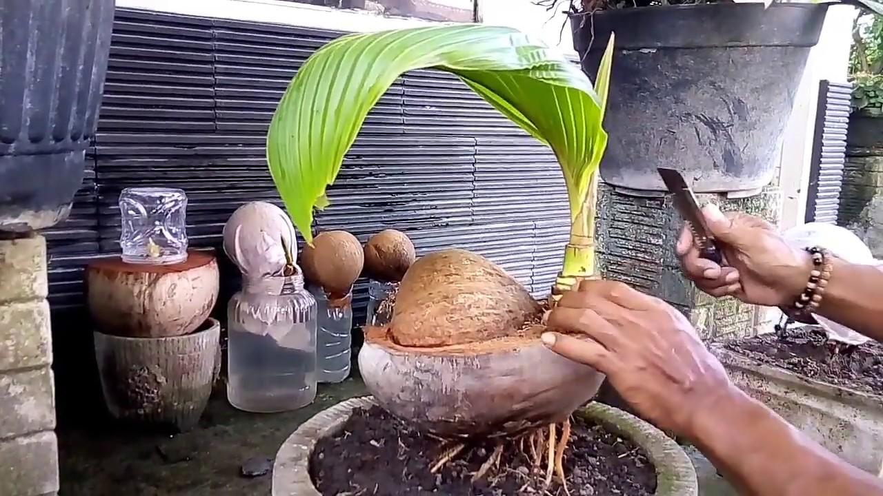Download Thumbnail For Belajar Merawat Bakal Bonsai Kelapa Youtube