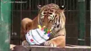 Tiger Geburtstag im Tiger-Garten-Waldeck