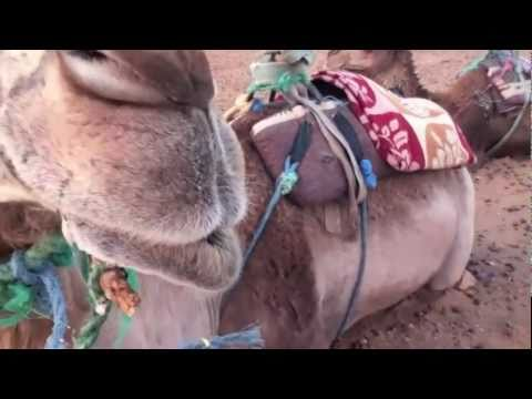 Meet Petunia, my camel